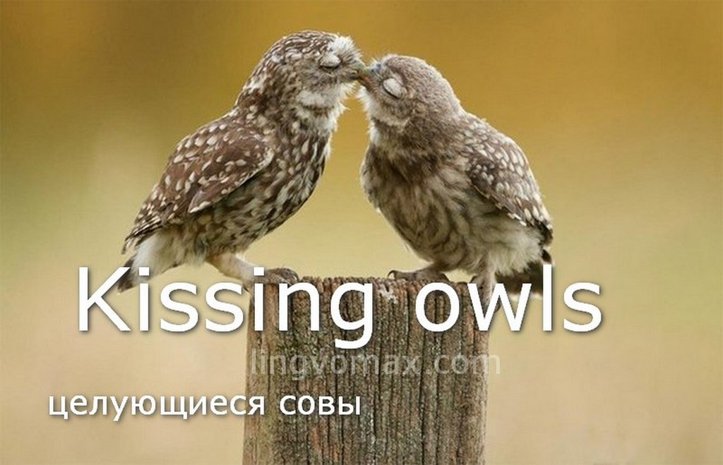 kissing owls